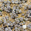 Barnacles and snails on coquina