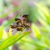 Halloween Pennant dragonfly
