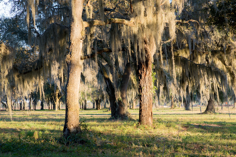 A field of live oaks at sunset