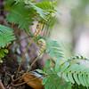 Baby Resurrection ferns