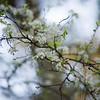 Wild plum tree in bloom
