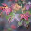 Sweetgum Tree leaves