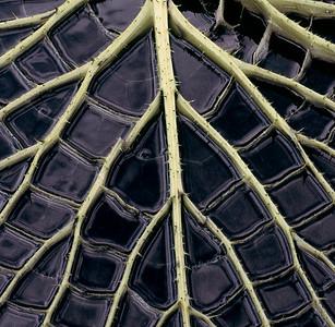 Water Lily Pad Skeleton