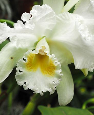 Orchid: Cattleya Los Gatos
