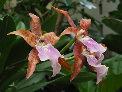 Orchids: Aliceara Purple Passion