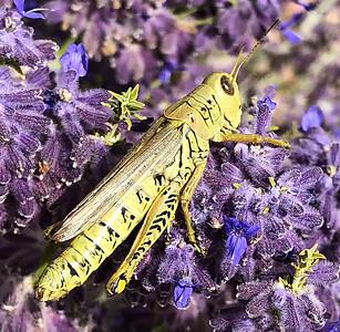Wyoming Grasshopper