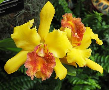 Orchids: Rhyncholaeliacattleya