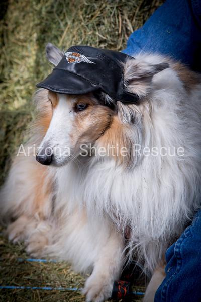 AZ Sheltie Portraits 2018 med-34