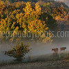 Fog-Dusted Cows