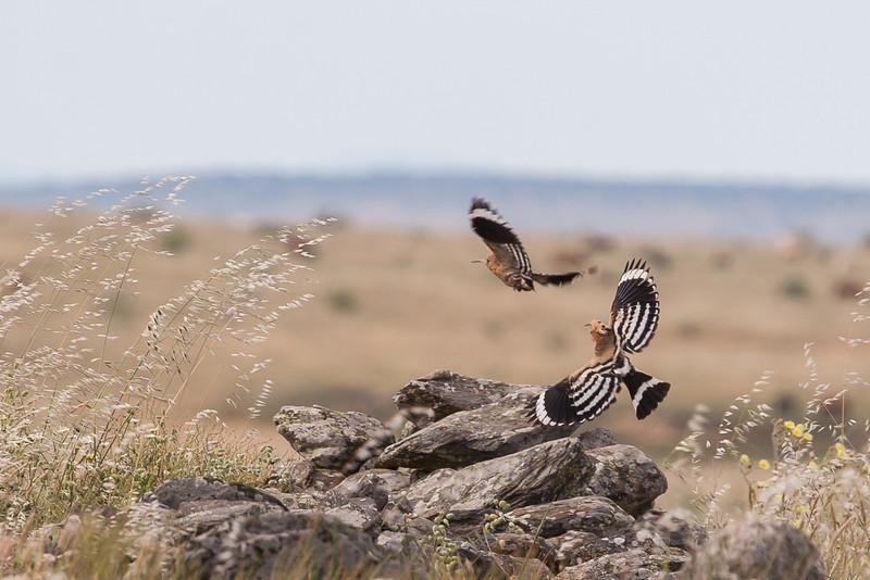 Hærfugl