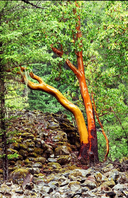 Madrone, Denny, Trinity County, California