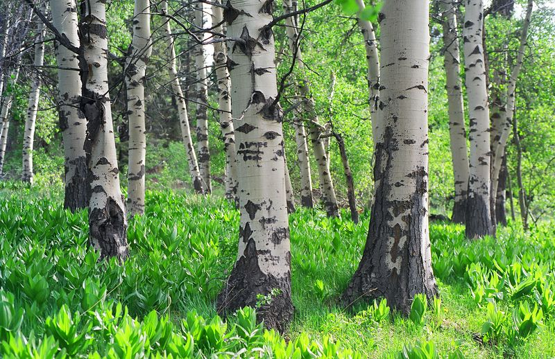Aspen Grove, South Warner Mountains Wilderness, N.E. California