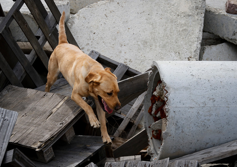 On the Friday morning of January 22, 2016, Ripley is training to find humans trapped in a rubble pile at the National Disaster Search Dog Foundation facility in Santa Paula, California.  (© Erica Jacques 2016)