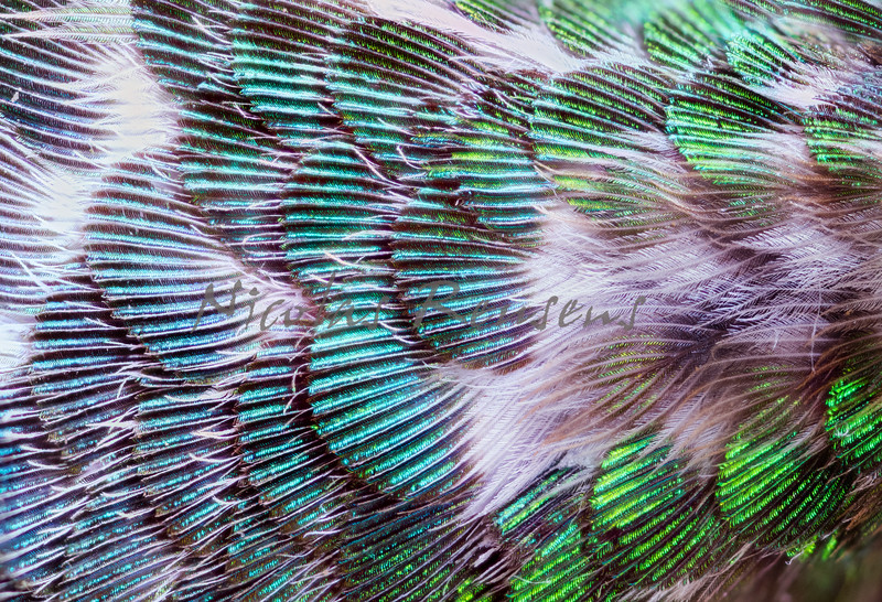 Coppery-headed emerald feathers detail.