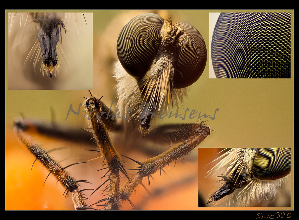 Different captures of a Robberfly´s eye and proboscis... Have fun !
