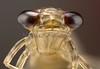 Las larvas de odonatos (libélulas y caballitos del diablo) comienzan su vida como ninfas, viviendo bajo el agua aproximadamente un año y suelen denominarse náyades.<br /> Tienen la cabeza pentagonal o rectangular, provista de un par de grandes ojos compuestos, tres ocelos y un par de cortas antenas. Su principal característica es su aparto bucal: el labio está muy modificado formando la máscara, un dispositivo que mantiene plegado bajo la cabeza y que proyecta hacia adelante de manera repentina para capturar las presas.<br /> <br /> Larval Odonata: Dragonflies and damselflies begin their lives as nymphs, living underwater for a year of more. <br /> Nymphs are not as brightly colored as the adults, but are well camouflaged predators who ambush their prey.<br /> The nymphs have stockier, shorter, bodies than the adults. In addition to lacking wings, their eyes are smaller, their antennae longer, and their heads are less mobile than in the adult. Their mouthparts are modified, with the labium being adapted into a unique prehensile organ for grasping prey.