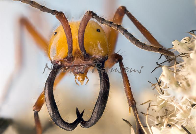 """Eciton Hamatum (Army Ant Soldier)<br /> <br /> In the tropical rainforest, ants are everywhere. Ants are the most abundant animals, and their total """"biomass,"""" or how much they all weight when put together, is heavier than any other group of animals in the rainforest.<br /> <br /> After many trips to Costa Rica I finally found in Panamá one of the most amazing and scaring ants of the world, the army ant.<br /> An army ant swarm is one of the most efficient eating machines in existence.<br /> There are many different kinds of ants in a tropical forest. In fact, the famous researcher named E. O. Wilson found over 200 species of ants on a single tree!<br /> <br /> This is one of my first captures of the 2015, and is the main theme of my next entry to the Blog, hope you find it interesting!<br /> <br /> <a href=""""http://nicolasreusens.blogspot.com.es/2015/01/fin-de-una-busqueda-y-el-comienzo-de-un.html"""">http://nicolasreusens.blogspot.com.es/2015/01/fin-de-una-busqueda-y-el-comienzo-de-un.html</a><br /> <br /> Happy new year!<br /> <br /> -------- -------- --------- ---------<br /> <br /> En la selva tropical, las hormigas están en todas partes.Las hormigas son los animales más abundantes del planeta y su peso total es mayor al de cualquier especie o grupo de animales de la selva.<br /> <br /> Después de muchos viajes a Costa Rica finalmente encontré en Panamá una de las hormigas más sorprendentes y peligrosas del mundo, la hormiga guerrera.<br /> Una colonia de hormigas guerreras constituye una de las máquinas de alimentación más eficientes que existen.<br /> Hay muchos tipos diferentes de hormigas en un bosque tropical. De hecho, el famoso investigador llamado E.O. Wilson encontró más de 200 especies de hormigas en un solo árbol!<br /> <br /> Esta es una de mis primeras capturas del 2015, y es el tema principal de mi próxima entrada en el blog, espero que la encontreis interesante!<br /> <br /> <a href=""""http://nicolasreusens.blogspot.com.es/2015/01/fin-de-una-busqueda-y-"""
