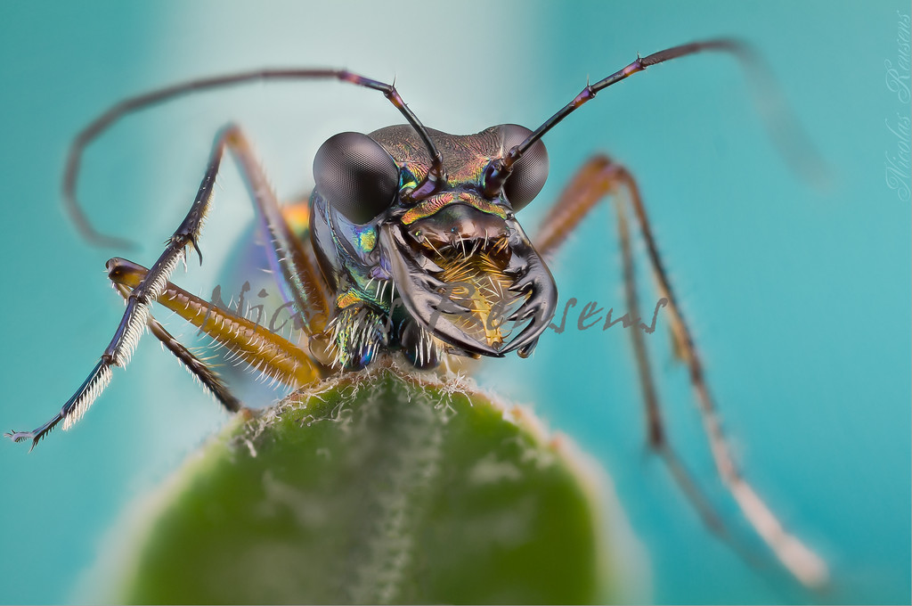 1.5x magnification of this wonderful tiger Beetle i found dead in the peruvian jungle lodge<br /> <br /> I´m quite happy, never had the chance to see one so close before....the colors and texture pattern are amazing !!!<br /> <br /> Around 58 pictures stacked in Zerene<br /> <br /> As with the rest of the pics i had to invest few hours retouching...    :-\<br /> <br /> Passed the 1x.com FILTER...PUBLISHED !!!<br /> <br /> Hope you like it<br /> <br /> ;)