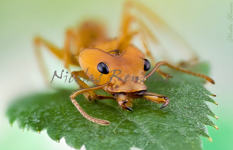 64 pictures stacked in Zerene of this wonderful ant from the peruvian amazon<br /> Possible Specie: Daceton Boltoni (Subfamily: Myrmicinae Genus: Daceton)