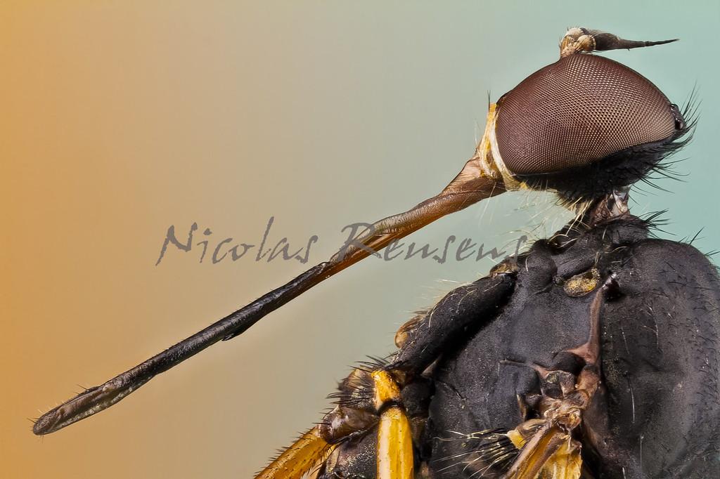 """Los empídidos (Empididae) son una familia de dípteros braquíceros que cuenta con más de 3.000 especies descritas y posiblemente otras 4.000 más aun sin describir. Son de distribución mundial, pero la mayoría son de la región Holártica.<br /> <br /> Hay mucha variación pero en general son de tamaño mediano a chico, de 1 a 15 mm. Son más bien oscuros de colores no metálicos y bastante peludos. Suelen ser delgados, de largas patas, de cuello definido y con una joroba en el tórax. Algunos tienen una larga probóscide. Los machos suelen tener ojos más grandes que las hembras y éstas tienen un abdomen más grueso.<br /> <br /> ------------<br /> <br /> Empididae is a family of flies with over 3,000 described species occurring worldwide, but the majority are found in the Holarctic. They are mainly predatory flies like most of their relatives in the Empidoidea, and exhibit a wide range of forms but are generally small to medium sized, non-metallic and rather bristly.<br /> <br /> Common names for members of this family are dagger flies (referring to the sharp piercing mouthparts of some species) and balloon flies. The term """"dance flies"""" is sometimes used for this family too, but the dance flies proper, formerly included herein, are now considered a separate family Hybotidae.<br /> <br /> Some Empididae, such as the European species Hilara maura, have an elaborate courtship ritual in which the male wraps a prey item in silk and presents it to the female to stimulate copulation. Empidid larvae are also largely predatory (although some are scavengers) and occupy a wide range of habitats, both aquatic and terrestrial."""