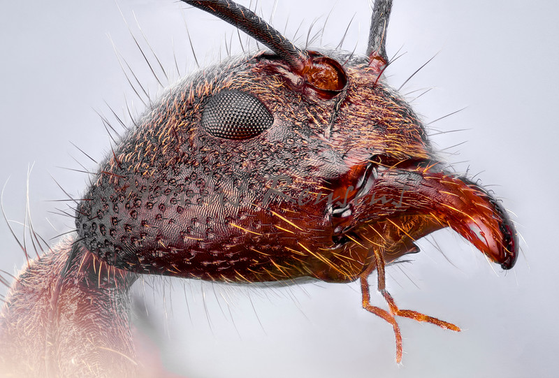 Aphaenogaster (peruvian amazon ant)<br /> 124 pictures stack at 5x magnification