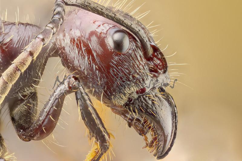 Paraponera clavata or bullet ant