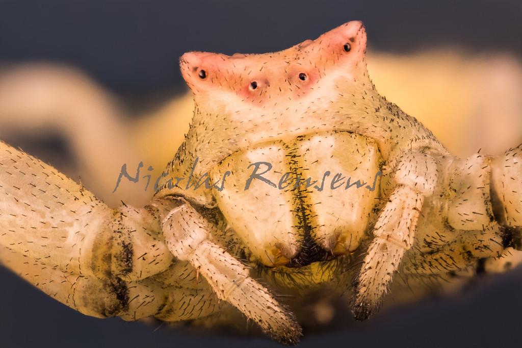 Crab Spider Portrait