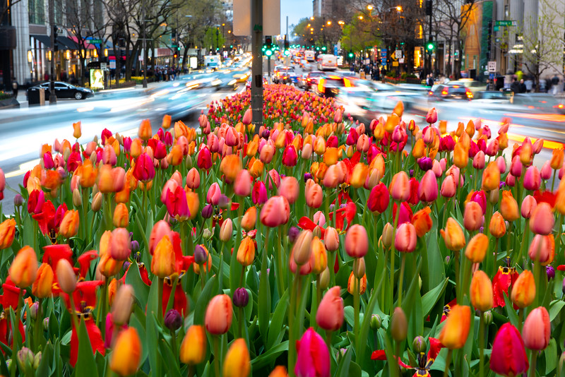 Tulips & Traffic on North Michigan Avenue