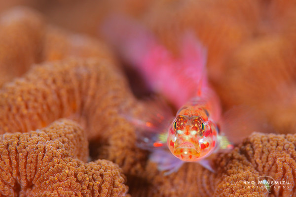 The red dwarf goby