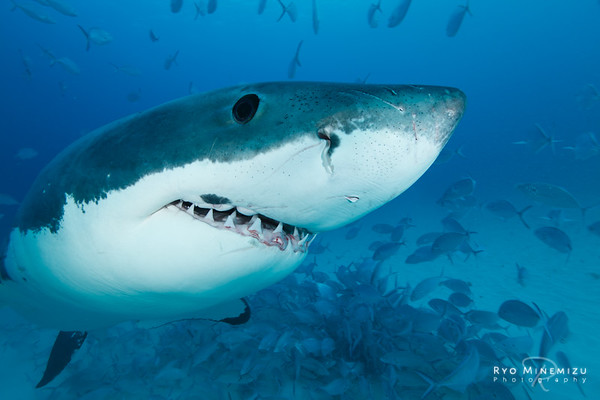 Encounter The Great white shark