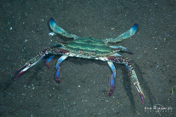 The Japanese blue crab