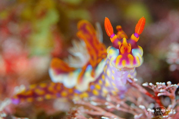 The brilliant nudibranch