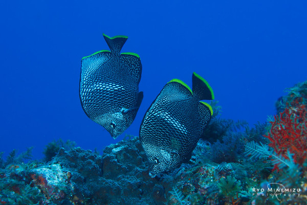 The Wrought-Iron Butterflyfish