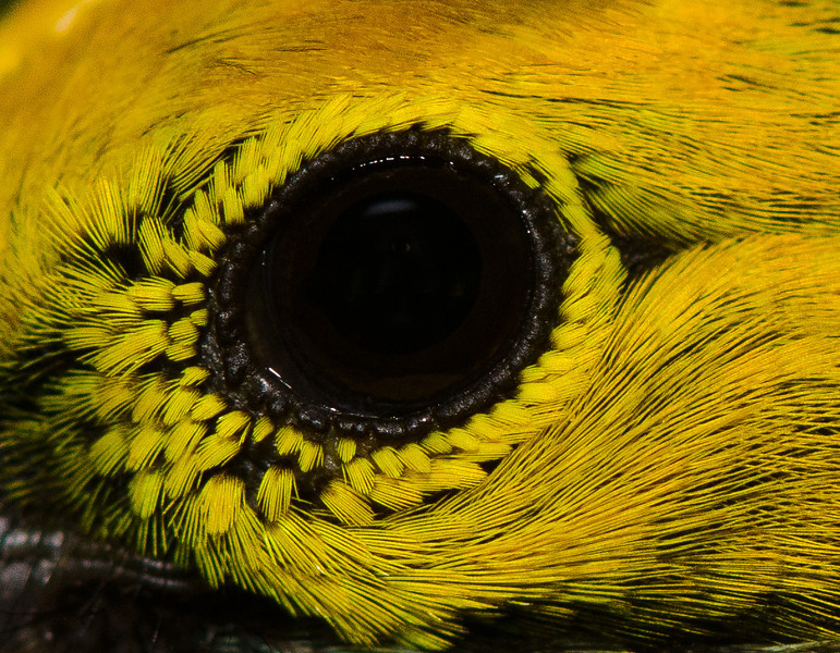 The eye of a Silver-throated Tanager (<i>Tangara icterocephala</i>) from the Rara Avis Rainforest Reserve, Costa Rica