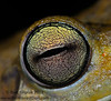 This eye belongs to the huge Gladiator Treefrog (<i>Hypsiboas boans</i>)