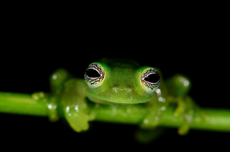 Dwarf Glassfrog (<i>Teratohyla spinosa</i>) from the Rara Avis Rainforest Reserve, Costa Rica