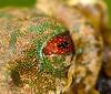 You say nictitating membrane, I say confetti eyelids... Rufous-eyed stream frog (<i>Duellmanohyla rufioculis</i>)
