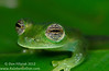 The eye of an Emerald Glassfrog (<I>Espadarana prosoblepon<I/>)