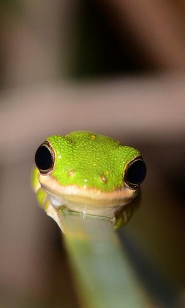 Resting on a reed, Green Treefrog (<i>Hyla cinera</i>)