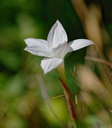 F. White Field Lilly 12