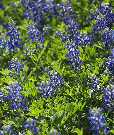 F. Bluebonnets in Spring 14
