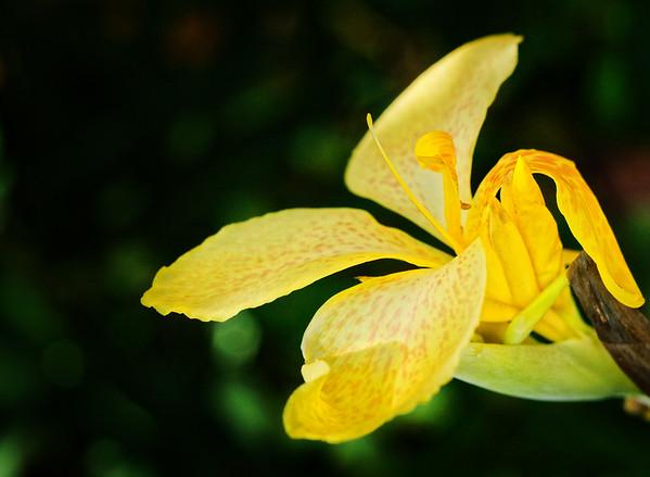F. Canna Yellow Bloom 03