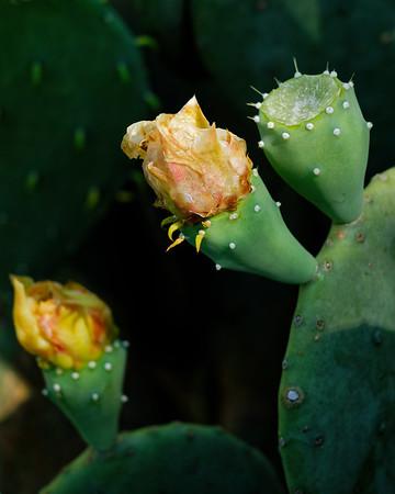 F. Cactus Bloom 14