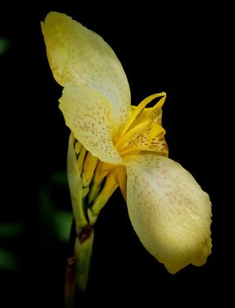 F. Canna Yellow 06