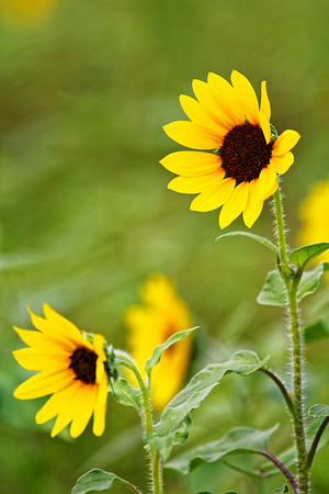 F. Sunflower Breeze