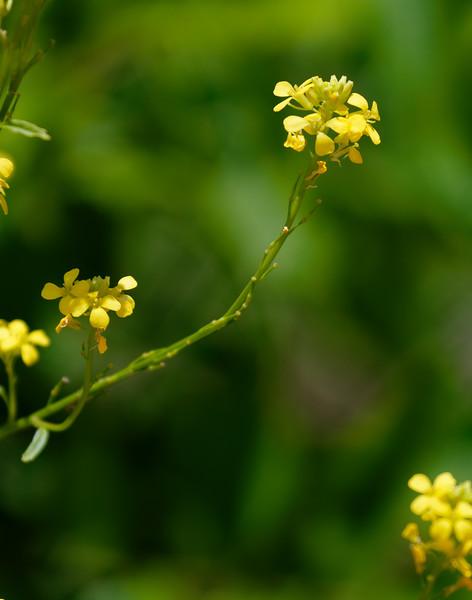 F. Amarillo Petite