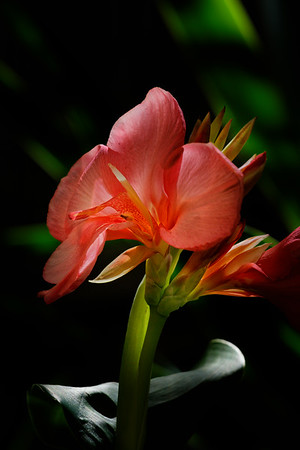 "F. Canna""Tropical Rose"" Bloom 04"