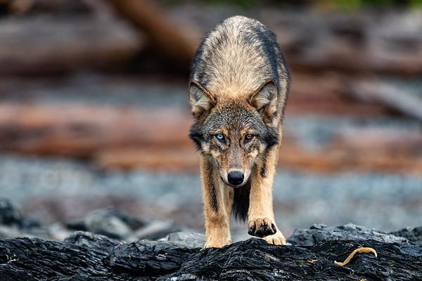 Sea Wolf Wanderer