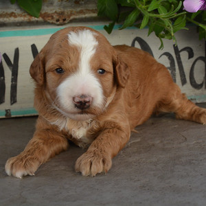 Stella-to be adopted by Hartog