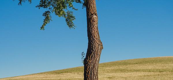 Tree, Hita-Cogolludo road